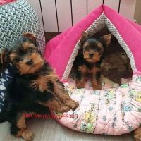 Yorkshire Terrier Puppies for sale in Denver City, TX 79323, USA. price: NA
