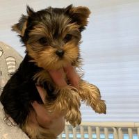 Yorkshire Terrier Puppies for sale in AZ-101 Loop, Phoenix, AZ, USA. price: NA