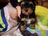 Yorkshire Terrier Puppies for sale in Elk Grove Village, IL 60007, USA. price: NA