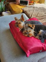 Yorkshire Terrier Puppies for sale in Anchorage, AK, USA. price: NA