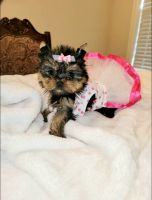 Yorkshire Terrier Puppies for sale in Wyoming, OH 45215, USA. price: NA