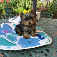 Yorkshire Terrier Puppies for sale in Paris, TX 75460, USA. price: NA