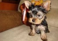 Yorkshire Terrier Puppies for sale in Fairfax, VA 22030, USA. price: NA