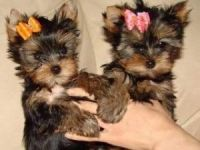 Yorkshire Terrier Puppies for sale in Baldwin, GA, USA. price: NA