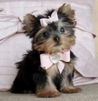 Yorkshire Terrier Puppies for sale in Lutz, FL 33549, USA. price: NA