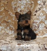 Yorkshire Terrier Puppies for sale in Daytona Beach, FL, USA. price: NA