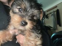 Yorkshire Terrier Puppies for sale in Brook Park, OH, USA. price: NA