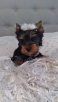Yorkshire Terrier Puppies for sale in Amarillo, TX, USA. price: NA