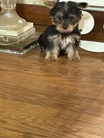 Yorkshire Terrier Puppies for sale in 362 Highland Ave, Clifton, NJ 07011, USA. price: NA