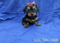 Yorkshire Terrier Puppies for sale in Whittier, CA, USA. price: NA