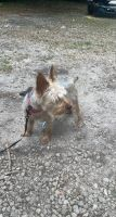 Yorkshire Terrier Puppies for sale in Thomasville, GA, USA. price: NA