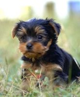 Yorkshire Terrier Puppies for sale in Fullerton, CA, USA. price: NA