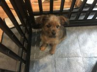 Yorkshire Terrier Puppies for sale in Yorktown, VA 23690, USA. price: NA