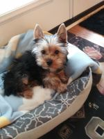 Yorkshire Terrier Puppies for sale in St Tammany Parish, LA, USA. price: NA
