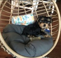 Yorkshire Terrier Puppies for sale in Mooresville, NC, USA. price: NA