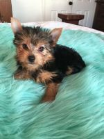 Yorkshire Terrier Puppies for sale in Dayton, OH, USA. price: NA