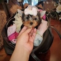 Yorkshire Terrier Puppies for sale in West Palm Beach, FL, USA. price: NA
