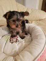 Yorkshire Terrier Puppies for sale in Costa Mesa, CA, USA. price: NA