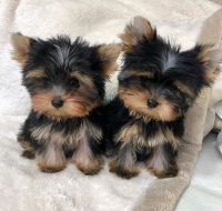 Yorkshire Terrier Puppies for sale in Phoenix, AZ, USA. price: NA