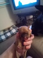 Yorkshire Terrier Puppies for sale in Burton, MI, USA. price: NA