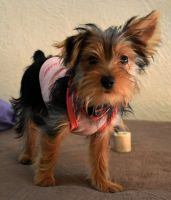 Yorkshire Terrier Puppies for sale in El Paso, TX 79912, USA. price: NA