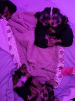 Yorkshire Terrier Puppies for sale in Randolph, MA 02368, USA. price: NA