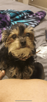 Yorkshire Terrier Puppies for sale in Bexley, OH 43209, USA. price: NA