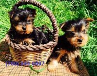Yorkshire Terrier Puppies for sale in Murfreesboro, TN, USA. price: NA