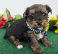 Yorkshire Terrier Puppies for sale in Nashville, TN, USA. price: NA
