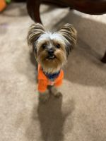 Yorkshire Terrier Puppies for sale in Conyers, GA, USA. price: NA