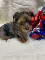 Yorkshire Terrier Puppies for sale in Killeen St, Killeen, TX 76541, USA. price: NA