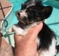 Yorkshire Terrier Puppies for sale in North Port, FL, USA. price: NA