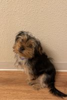 Yorkshire Terrier Puppies for sale in Richland, WA, USA. price: NA