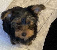 Yorkshire Terrier Puppies for sale in Toledo, OH, USA. price: NA