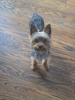 Yorkshire Terrier Puppies for sale in Hicksville, NY, USA. price: NA