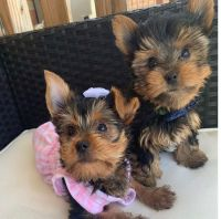 Yorkshire Terrier Puppies for sale in San Antonio, TX, USA. price: NA