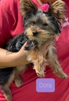 Yorkshire Terrier Puppies for sale in Lake George, NY 12845, USA. price: NA