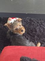 Yorkshire Terrier Puppies for sale in Willoughby Hills, OH, USA. price: NA