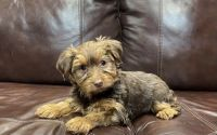 Yorkshire Terrier Puppies for sale in Dallas, TX 75254, USA. price: NA