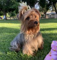 Yorkshire Terrier Puppies for sale in Pomona, CA, USA. price: NA