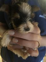 Yorkshire Terrier Puppies for sale in Lillington, NC 27546, USA. price: NA