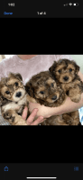 Yorkshire Terrier Puppies for sale in Lindenwold, NJ, USA. price: NA
