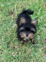 Yorkshire Terrier Puppies for sale in Clearwater Beach, Clearwater, FL, USA. price: NA