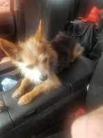 Yorkshire Terrier Puppies for sale in Oklahoma City, OK, USA. price: NA