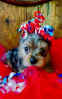 Yorkshire Terrier Puppies for sale in Spring Hill, FL, USA. price: NA