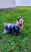 Yorkshire Terrier Puppies Photos
