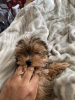 Yorkshire Terrier Puppies for sale in 18 Cedar St, Champlain, NY 12919, USA. price: NA