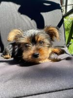 Yorkshire Terrier Puppies for sale in Cumberland, RI 02864, USA. price: NA