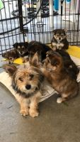 Yorkshire Terrier Puppies for sale in Patterson, CA 95363, USA. price: NA