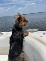 Yorkshire Terrier Puppies for sale in Houston, TX, USA. price: NA